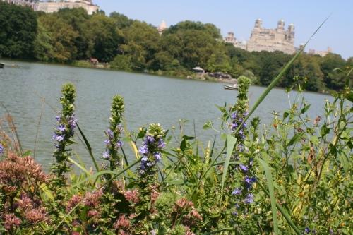 Purple Flowers Central Park 9 1 September 2012 (1024x683)