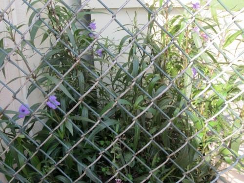 Purple Flowers Annapolis 1 22 September 2012 (1024x768) (800x600)