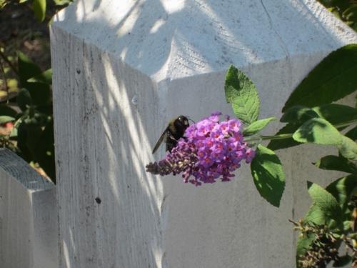 Purple Flowers Annapolis 3 22 September 2012 (1024x768) (800x600)