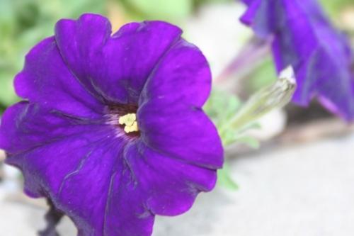 Purple Flowers Central Park 6 1 September 2012 (1024x683) (800x534)