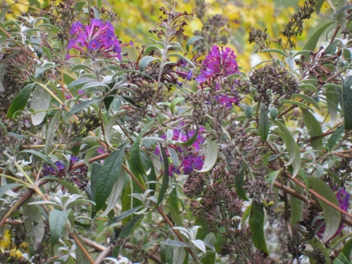 Purple Flowers Central Park 1 27 October 2012 (1024x768)