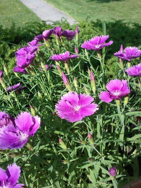 Norwood PC Purple flowers