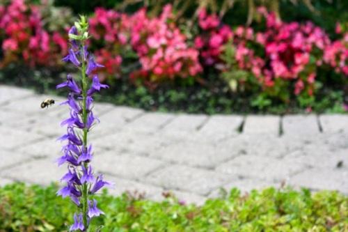 Purple Cha Aug 4 11