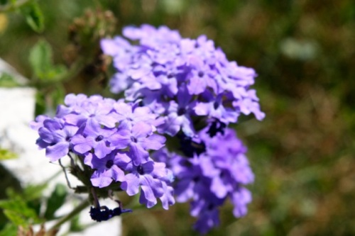 Purple Cha Aug 4 13