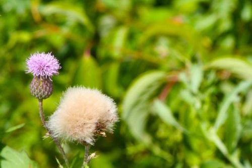 Purple Cha Aug 4 8