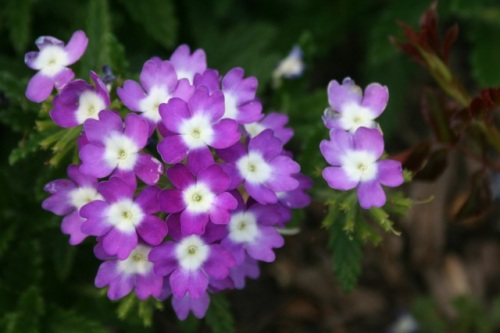 purple flowers C2 Aug 3