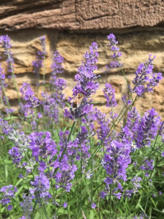 PurpleflowerPrincetonJune24